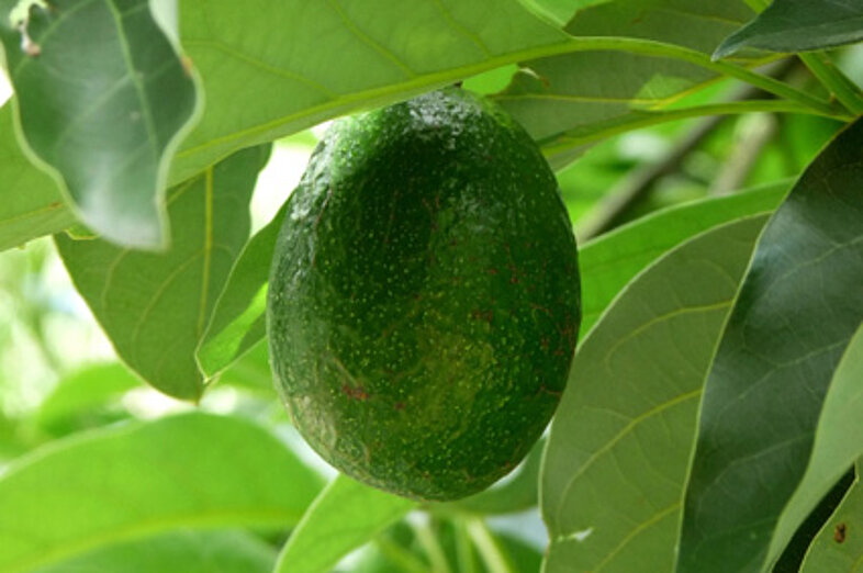 Aguacates_2